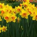 daffodil-flowers